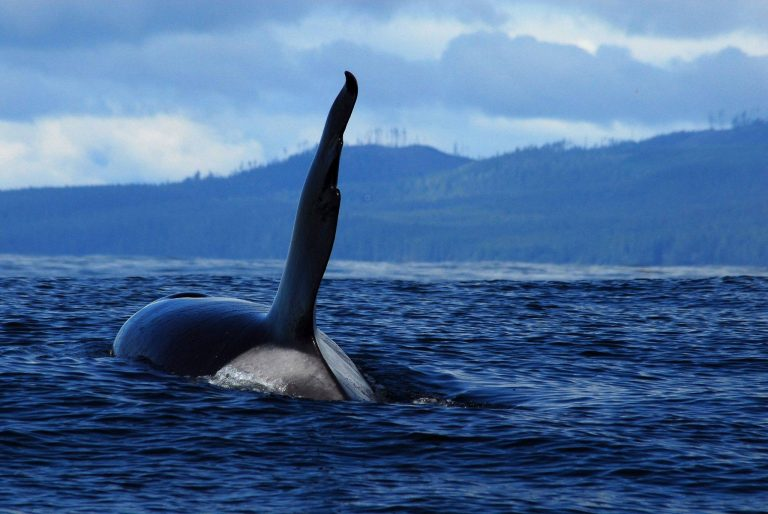 Ocean EcoVentures Whale Watching – Cowichan Bay
